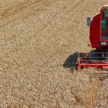 U kobaškom ataru žetva pšenice pri kraju